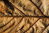 Dry Teak Leaf Close Up