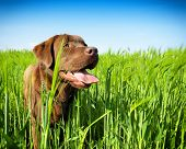 picture of chocolate lab  - young labrador retriever - JPG