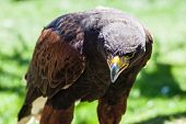 stock photo of hawk  - The Harris - JPG