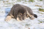 Amazing Puppy Of Tibetan Mastiff