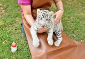 foto of white tiger cub  - zookeeper take care and feeding baby white tiger - JPG