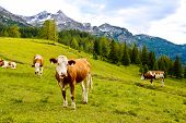 Cows On An Alpine Meadow