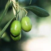 picture of olive branch  - Olive tree branches with fruits in the field - JPG