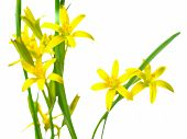 Gagea Lutea (yellow Star Of Bethlehem) The First Wild Spring Flower Is Isolated On White Background