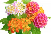 stock photo of lantana  - beautiful colorful of Lantana camara flower with drops is isolated on white background closeup - JPG