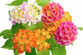 image of lantana  - beautiful colorful of Lantana camara flower with drops is isolated on white background closeup - JPG