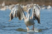 Pink-backed Pelican Hopping In The Air For A Lunge