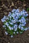 Fresh blue forget-me-not flower