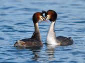 stock photo of crested duck  - Couple of great crested grebe  - JPG