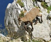 Female wild alpine ibex - steinbock portrait