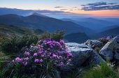 Landscape in the early morning. Predawn twilight in the mountains. Blooming rhododendron bush. Pink flowers. Carpathians, Ukraine, Europe