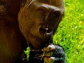lowland gorillan