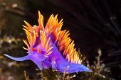 A Spanish shawl nudibranch snail, commonly found in the Channel Islands of California, crawls on bra