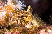 A small territorial sculpin rests atop a reef, surrounded by sea anemones, staring into my camera.