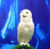 stock photo of snowy owl  - Beautiful Snowy Owl  - JPG