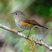 Female Himalayan Bluetail