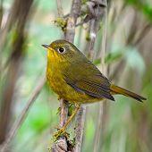 picture of robin bird  - Beautiful yellow bird - JPG