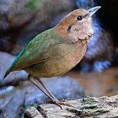 Male Rusty-naped Pitta