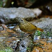 image of babbler  - Brown Babbler bird - JPG