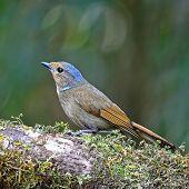 Female Rufous-bellied Niltava