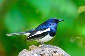 foto of robin bird  - Beautiful black and white bird - JPG
