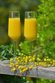 stock photo of mimosa  - Two glasses of mimosa cocktail outdoors against lush foliage - JPG