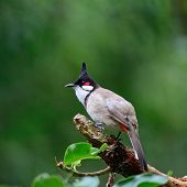 foto of bulbul  - Beautiful bulbul bird - JPG
