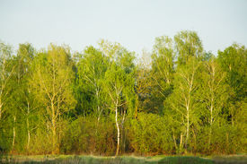 pic of birchwood  - Beautiful nature at evening in the misty spring forest - JPG