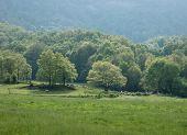 Sheep below oak trees