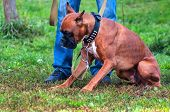 pic of spotted dog  - boxer on a dog training order laying