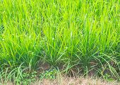 Image Of Rice Field