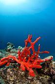 natural red sponge