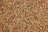Farro Dicocco, Or Italian Spelt, Background