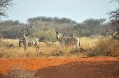Zebras On Red Sand