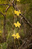 Yellow  Autumn Leaves On Old Dead Branch
