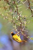 Golden Masked Weaver - African Wild Bird Background - Sharp Beauty
