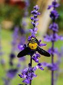 carpenter bee on violet flower