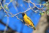Golden Masked Weaver - African Wild Bird Background - Posture of Color