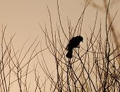 Blackbird On Branch In Silhouette, Sunset
