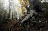 Tree with big roots in forest in autumn