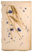 Dried Cornflowers And Corn On Aged Paper