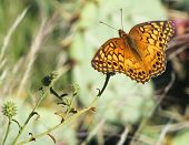 Southern Variegated Fritillary Butterfly