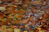 Autumn Color Leaves On The Water
