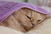 Close up sleeping persian cat
