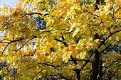 Autumnal Linden Tree Foliage