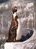 Standing and stretch the neck Humboldt penguin