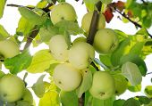 picture of groping  - grope of white apples on the tree - JPG