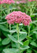 Blossom Sedum, Stonecrop, Crassula. Floral Background