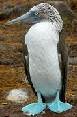 picture of booby  - Blue - JPG