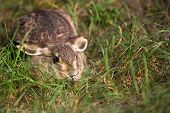 Hare in the grass, in the wild